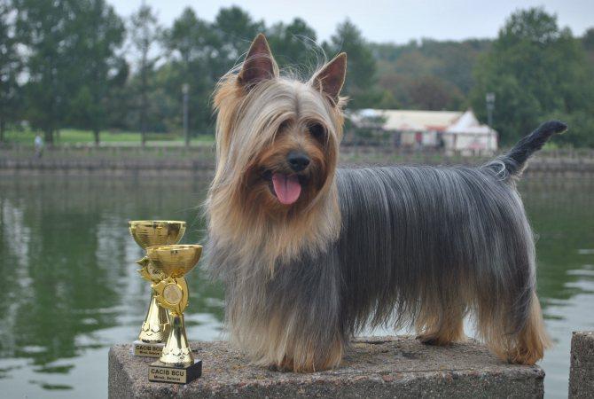 Австралийский шелковистый терьер или силки-терьер (australian silky terrier)