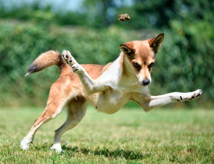 Красивая и умная порода собак – норвежская лайка или бухунд