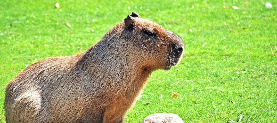 Капибара - самый большой грызун, как выглядит, что ест, можно ли содержать в домашних условиях и другие интересные факты