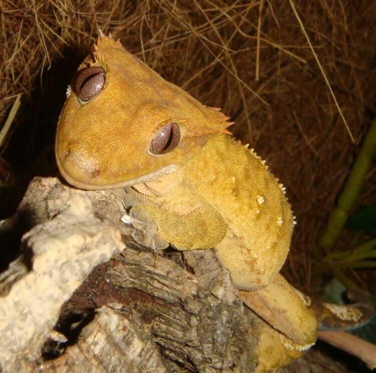 Геккон-бананоед: описание рептилии, содержание и уход, обеспечение питания реснитчатой ящерицы