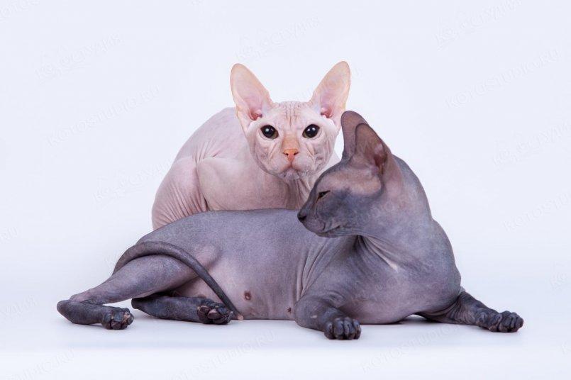 Голая кошка сфинкс: особенности канадской, донской и петербургской породы, характер лысого кота, чем кормить питомца, уход и фото котят