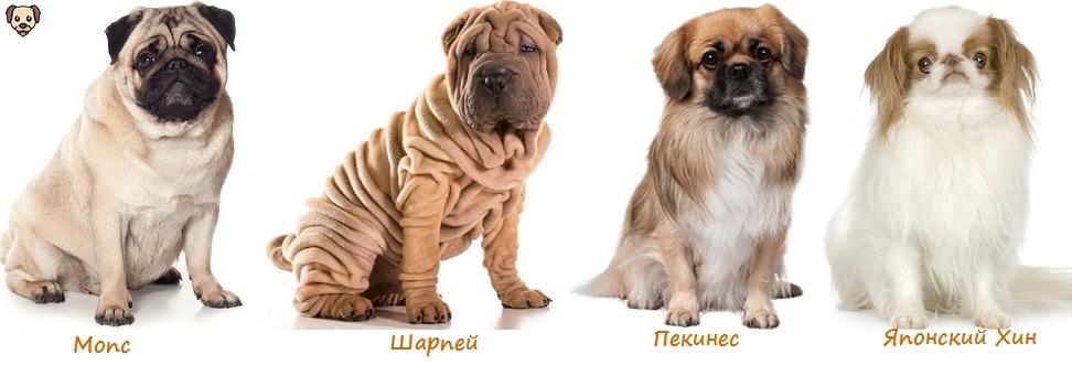 7популярных пород собак, у которых выпадают глаза