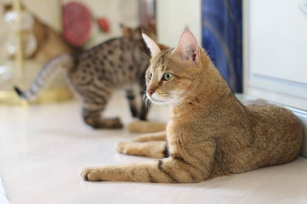 Кошка пума домашняя порода как называется