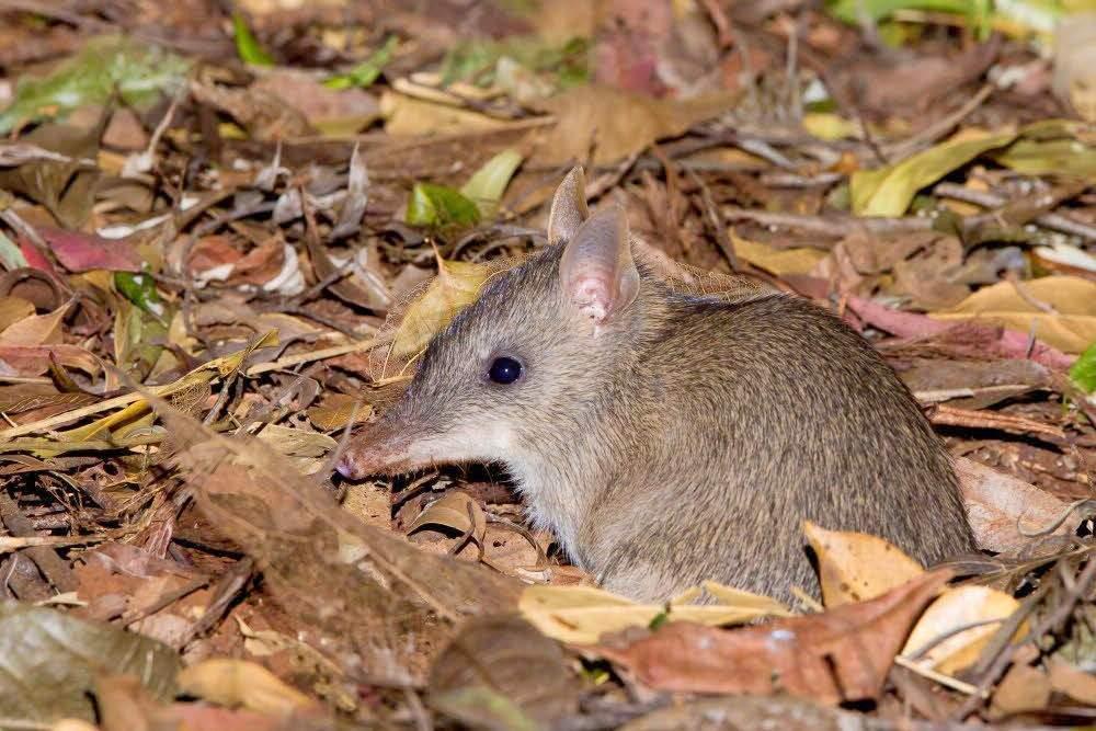 Вид: macrotis leucura = малый кроличий бандикут