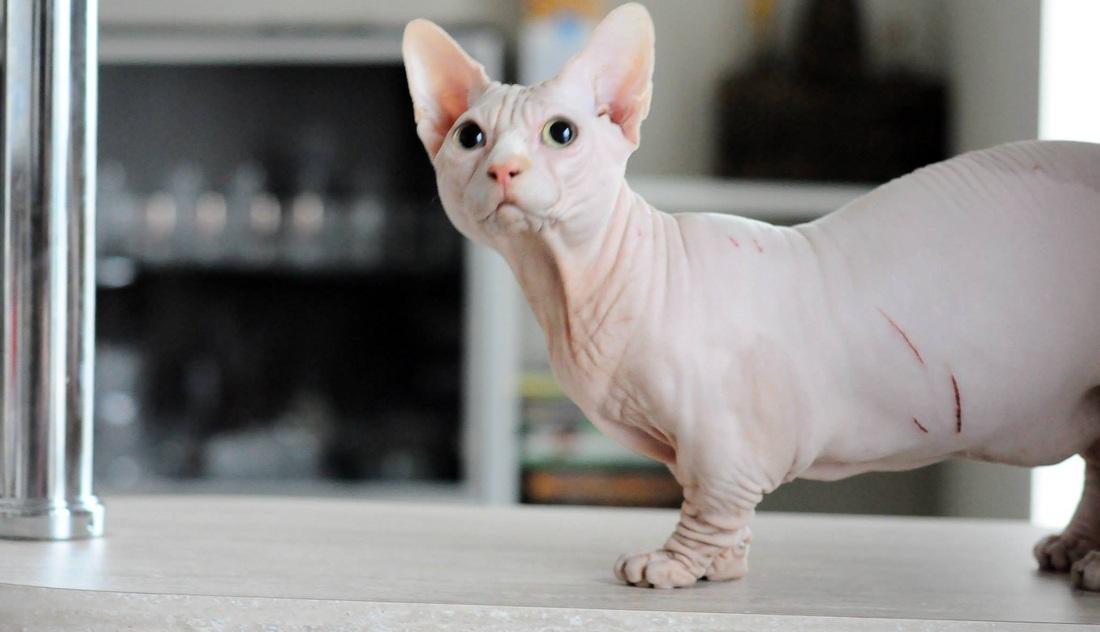 Лысая порода карликовых кошек бамбино:как выглядят кошки породы бамбино? подробности ухода +видео
