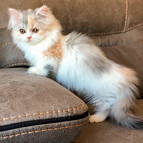 Наполеон кошка: происхождение, породные особенности, правила содержания, выбор