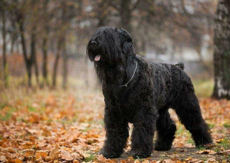 Русский черный терьер: описание породы с фото, стандарты собаки и отношение к детям