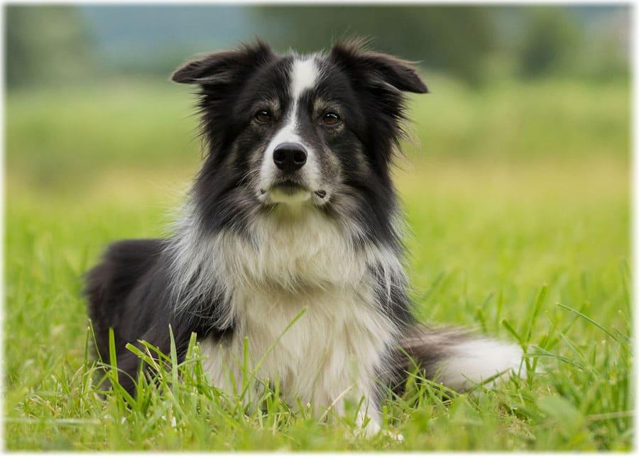 Бордер-колли фото, где купить щенка и цена, описание породы, отзывы