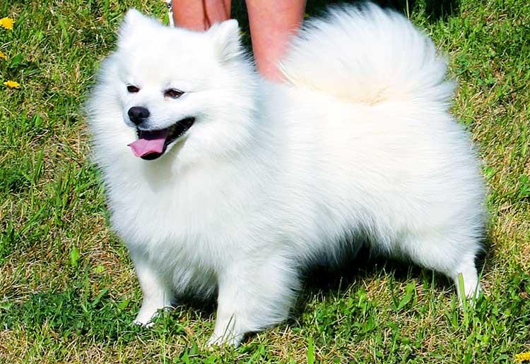 Американская эскимосская собака описание