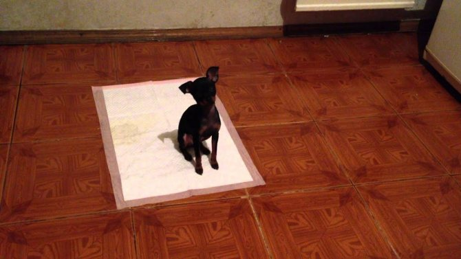 Приучаем собаку (щенка) к пеленке или лотку
