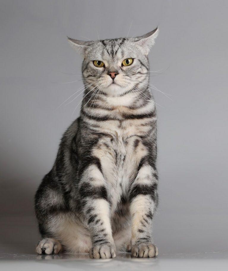 10 новых пород кошек с названием, описанием, характером, ценой: инструкция +фото и видео