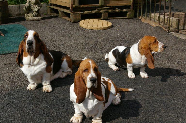 Бассет-хаунд - порода собак - информация и особенностях   хиллс