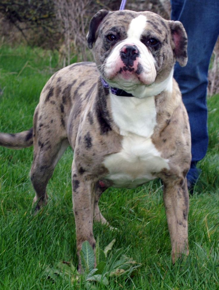 Бульдоги ? разновидности породы с фото, названием и описанием породы собак, выбрать щенка | petguru