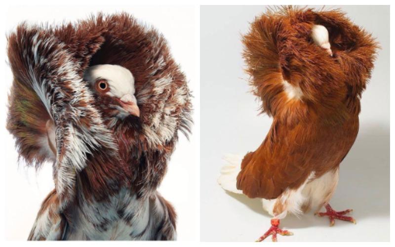 Самые дорогие голуби в мире: цены на разные породы (почтовые, гривистые, гоночные)