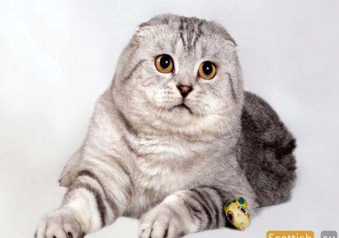 Британская длинношерстная кошка: плюсы и минусы породы, фото котят + условия содержания и нюансы кормления