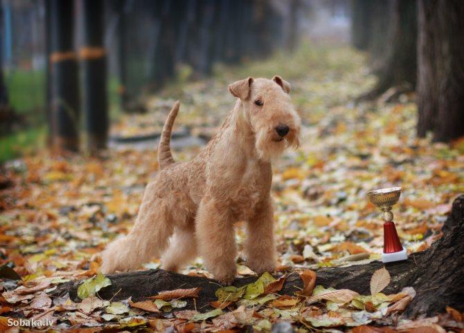 Порода собак лейкленд терьер