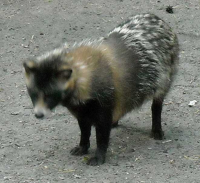 Енотовидная собака (тануки): описание, среда обитания, поведение, рацион