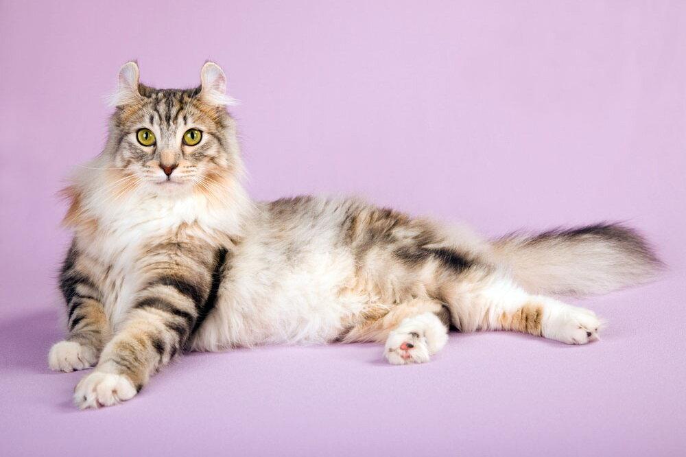 Американская короткошерстная кошка: описание, фото, характер, цена