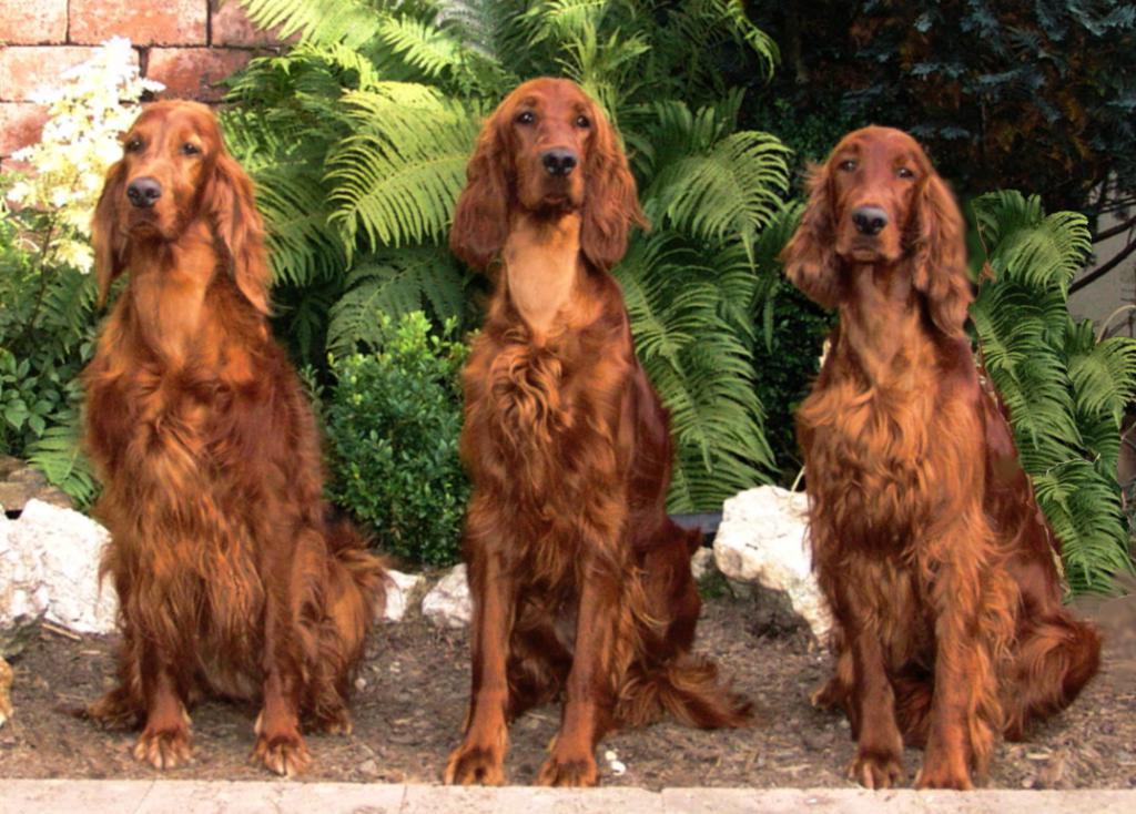 Подружейные собаки – сеттеры: все представители породы
