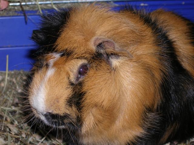 Сколько лет живут морские свинки и от чего зависит продолжительность жизни в домашних условиях