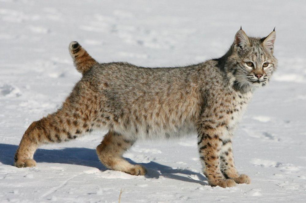 12 пород домашних кошек которые могут стать подобием рыси