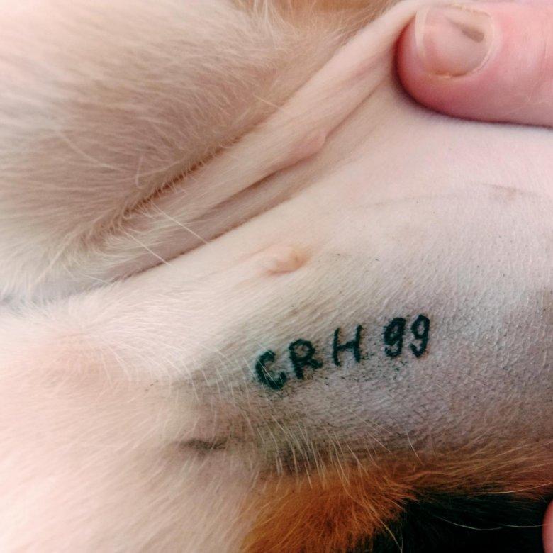 Что значит клеймо у собак и для чего оно нужно: как делают клеймение щенкам
