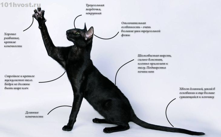 Ориентальная кошка (150 фото): особенности и описание породы, цена и выбор котенка, факты, виды, все о кошке ориентал