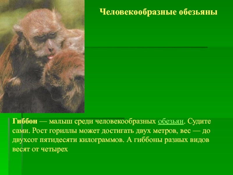 Обезьяна: повадки, образ жизни, виды обезьян, фото