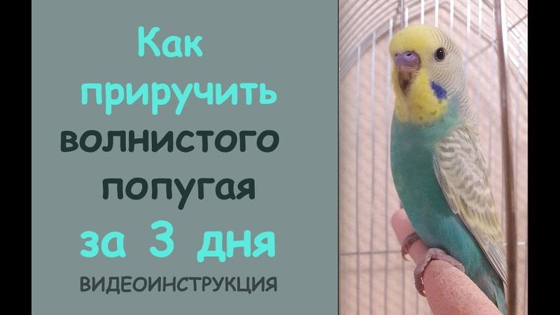 Волнистые попугаи: как приручить к рукам и сделать так, чтобы питомец перестал вас бояться? :: syl.ru
