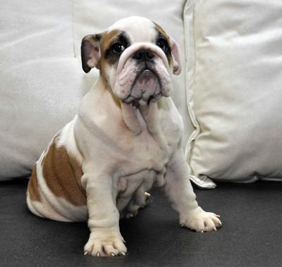 Американский бульдог: все о собаке, фото, описание породы, характер, цена