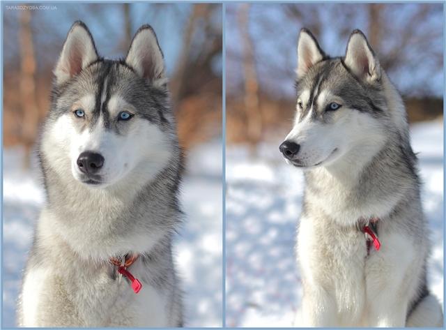 Хаски и лайки: в чем разница? | собачий блог