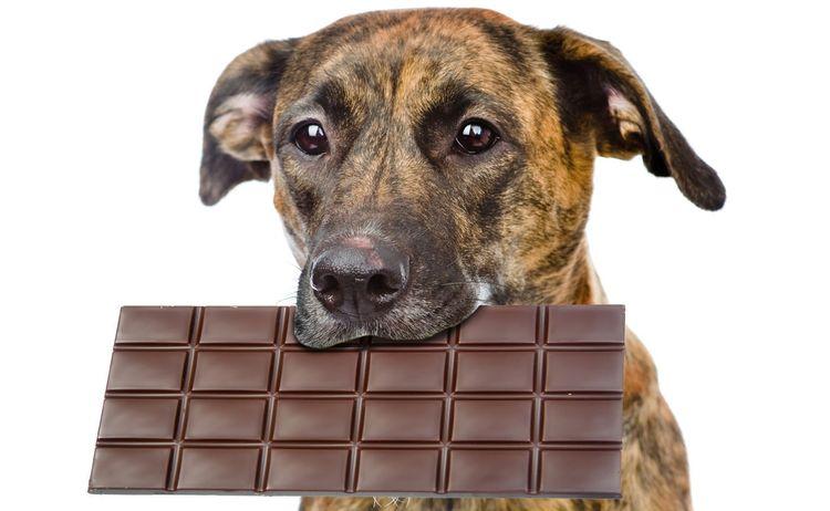 Собака съела шоколад — что делать?