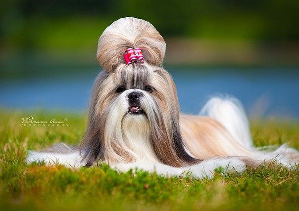Порода собак ши-тцу описание породы