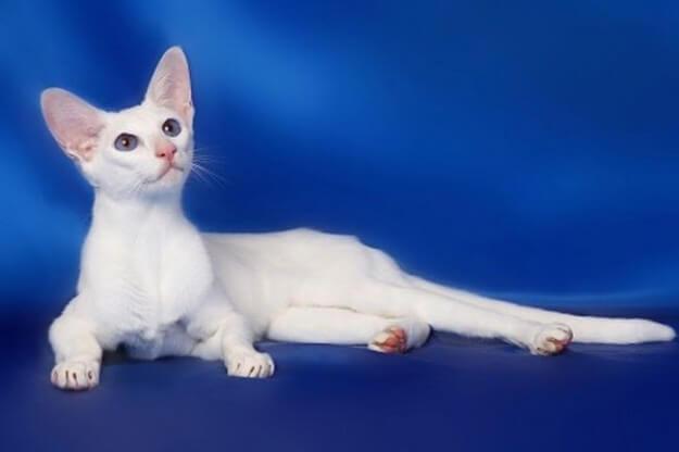 Меконгский бобтейл - описание породы: фото кошек, стандарты, окрасы, характер