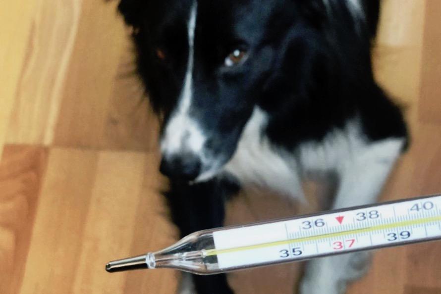 Как измерить температуру у собаки без градусника