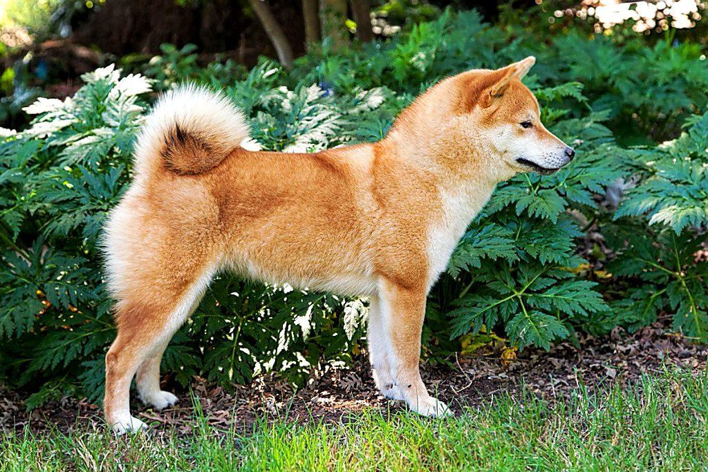 Акита-ину — японская собака