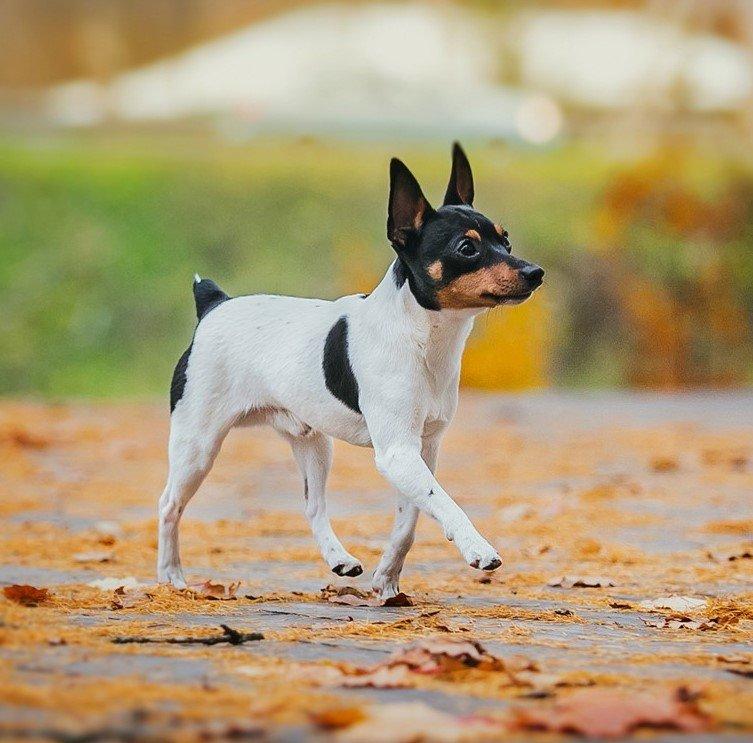 Фокстерьер собака. описание, особенности, содержание, уход и цена породы фокстерьер   живность.ру