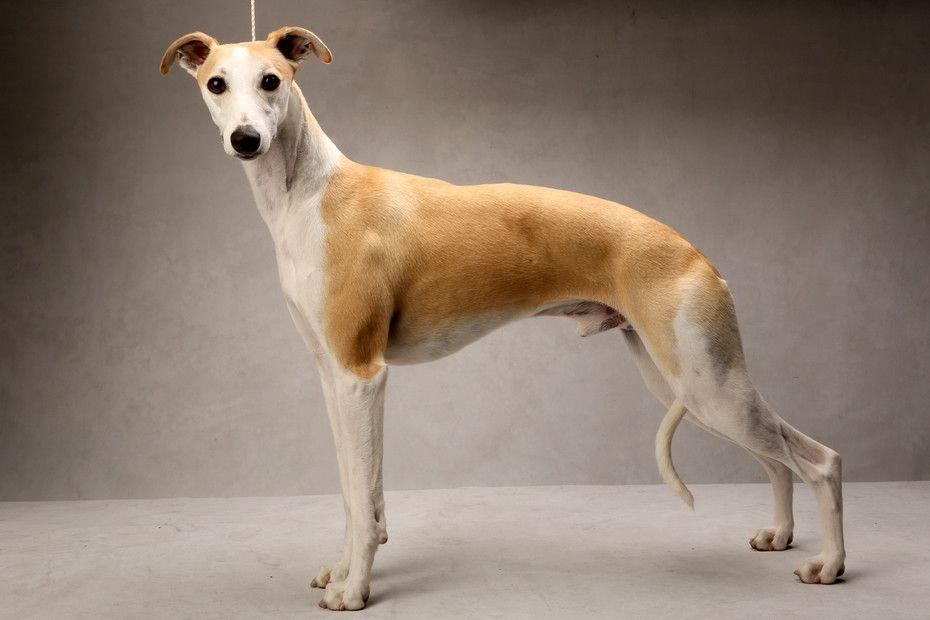Уиппет: фото и стандарт породы, отзывы владельцев о собаке и ее цена