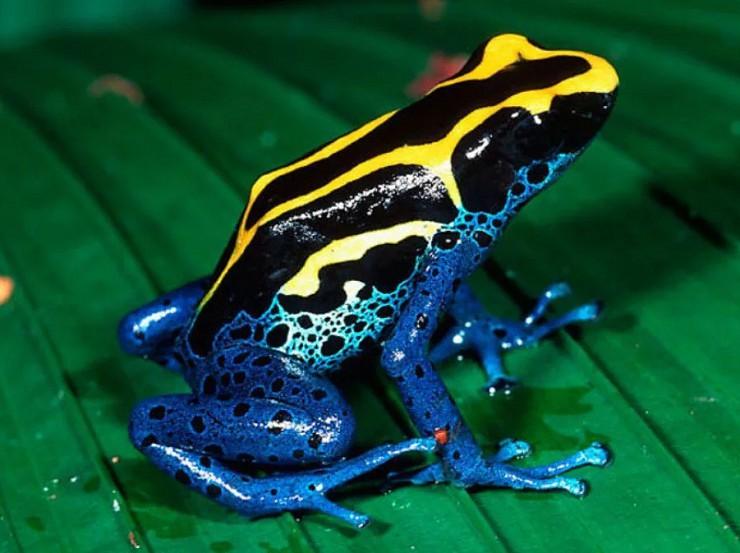 Франтоватый древолаз, или трехцветный древолаз   мир животных и растений