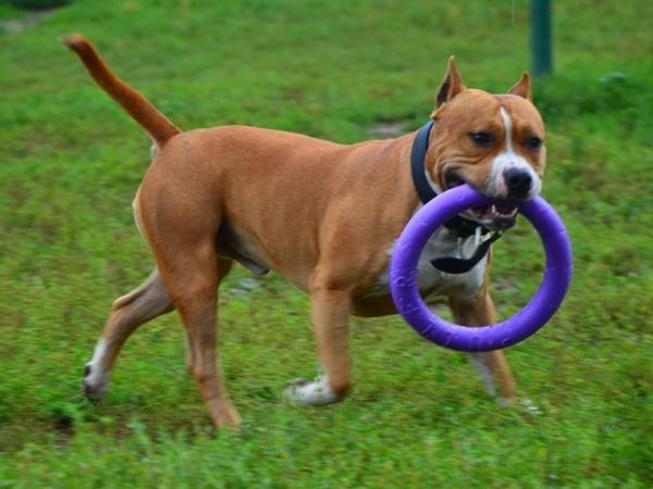Воспитание стаффордширского терьера: правила дрессировки щенка амстаффа в домашних условиях