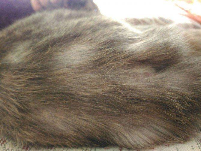У кошки выпадает шерсть: причины. как ухаживать за шерстью кошки. | нвп «астрафарм»