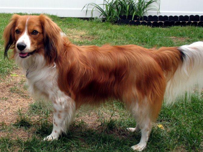 Коикерхондье собака. описание, особенности, уход и цена породы коикерхондье