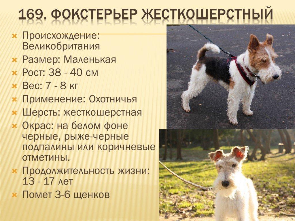Фокстерьер: гладкошерстный, жесткошерстный, описание породы, уход и содержание, выбор щенка. размеры | zoosecrets