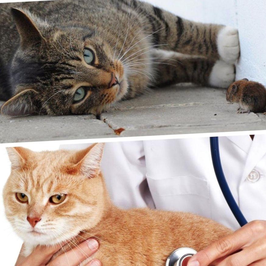 Симптомы и лечение токсоплазмоза у кошек в нижнем новгороде