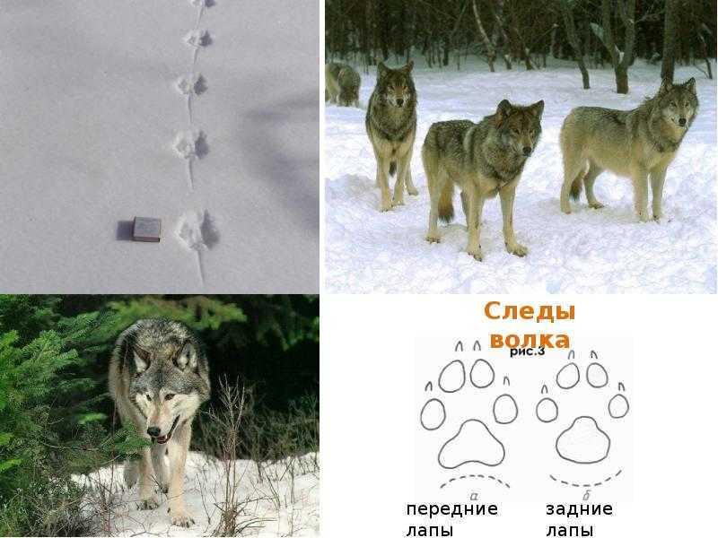 Следы волка и собаки: сравнение на снегу