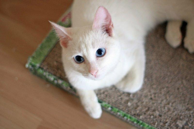Глухие белые кошки.