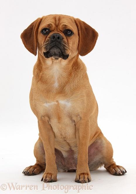 Описание породы собак пагль с отзывами владельцев и фото