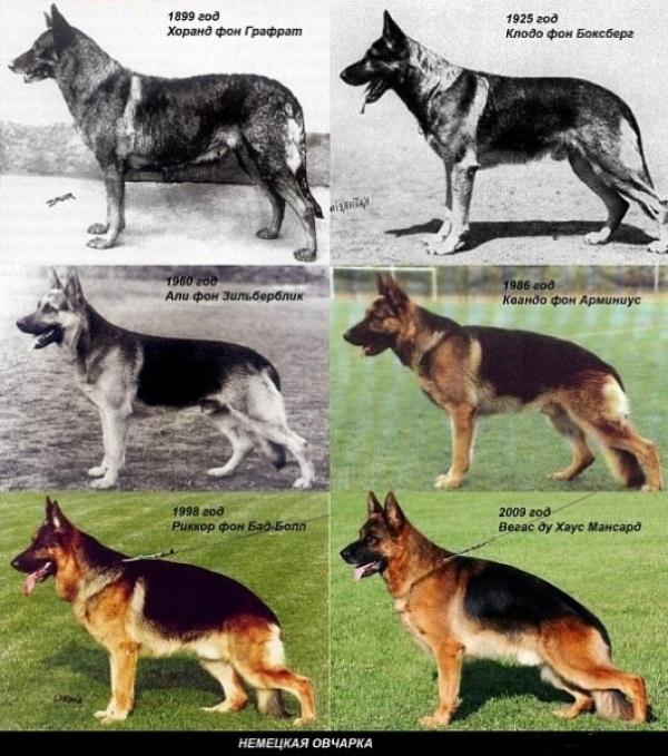 Чем немецкая овчарка отличается от восточноевропейской — отличие пород собак