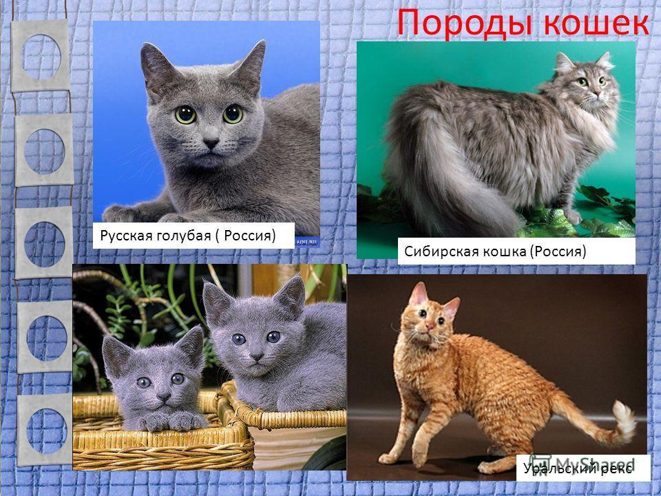 Порода кошек нибелунг – чем отличается от русской голубой кошки – внешность и характер