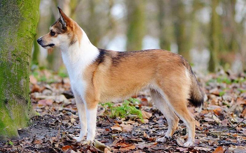 """Необычные породы собак: комондор, фараонова, бергамаско, леопардовая   блог ветклиники """"беланта"""""""